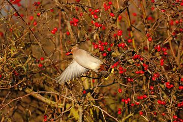 Pestvogel foerageert van De_Taal_Fotograaf