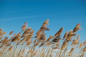 Gras in de wind met blauwe lucht van Koen Bluijs