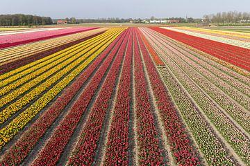 Bollenvelden in bloei bij Lisse (tulpen) van Hans Elbers