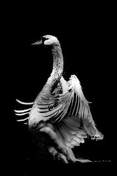 Swan Dance two van Lynlabiephotography