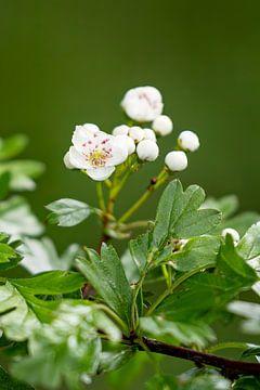 Blüte von Ronenvief