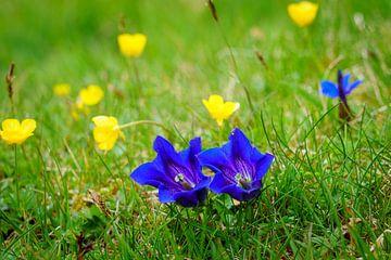 Zwei Enziane auf einer Blumenwiese von Coen Weesjes