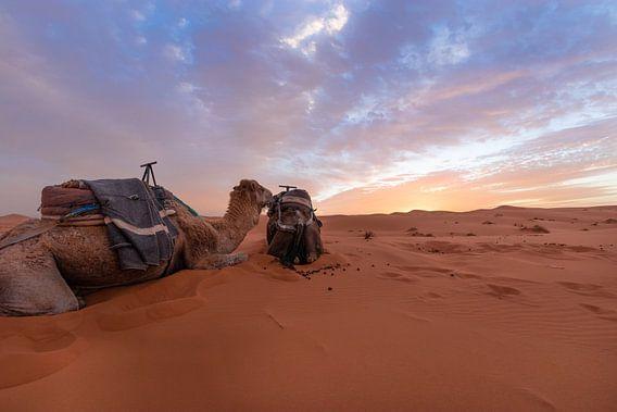 Arabische kamelen - Merzouga-woestijn, Marokko van Thijs van den Broek