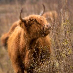 Schotse Hooglander in het Brabantse Land