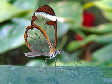 Tropische vlinder Tropical Butterfly - Greta Oto (Collectie 2018) von Jan van Bruggen