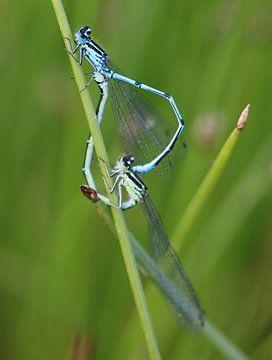 Libellen-Herz I von Iris Volkmar