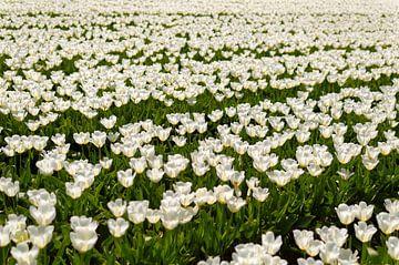 Tulipany von Dawid Baniowski