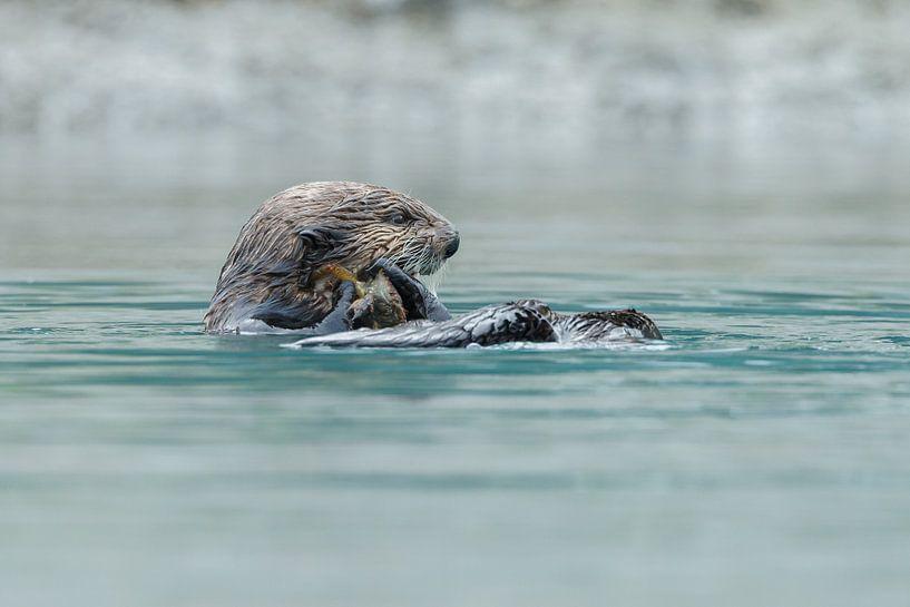 Zeeotter in het blauwe water van Alaska van Menno Schaefer