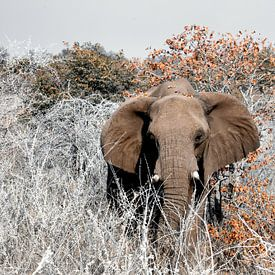 Etosha - naderende olifant van Rene Siebring