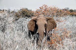 Etosha - naderende olifant van