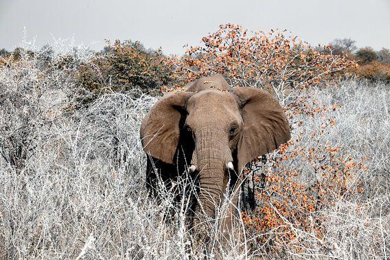Etosha - naderende olifant
