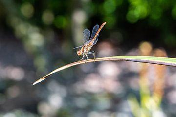 Balancierende Libelle von Ingrid Aanen