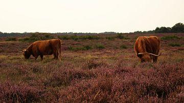 Weidende schottische Hochlandbewohner Hilversum Heidekraut von Maaike