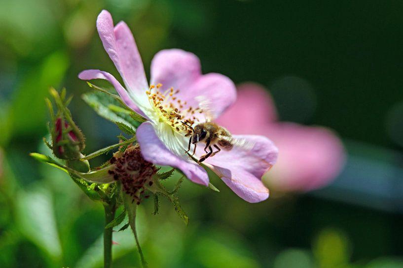 Biene und Heckenrose von Borg Enders