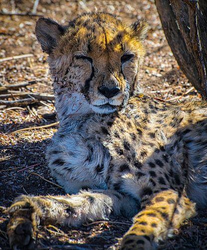 Knipoog van een cheetah, Namibië