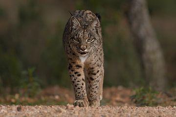 The Iberian lynx approaches sur Tariq La Brijn