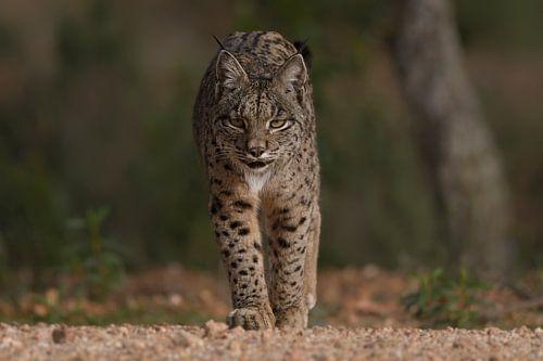 De Iberische lynx nadert van