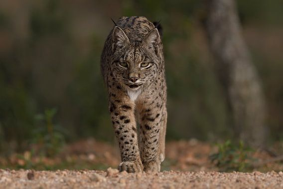 De Iberische lynx nadert