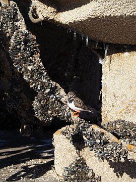 Steenloper in de haven van Lauwersoog op een winterse dag van Helene Ketzer