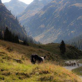 Schaapshond in Garneratal, Gaschurn Oostenrijk van Karin vd Waal