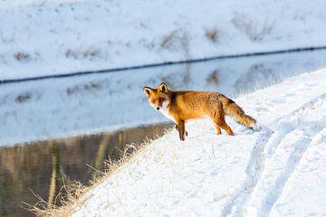 Renard roux dans la neige sur Inge van den Brande