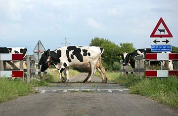 Koeienoversteekplaats van Luuk van der Lee
