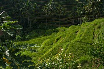 Terrassen rijsveld Bali van
