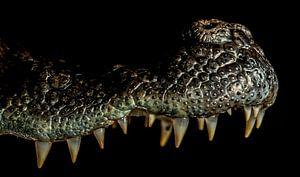 Crocodiles upper jaw close-up