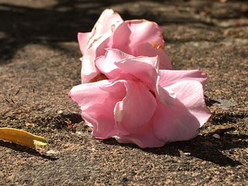 Oleanderblüte van Birgit Hegert