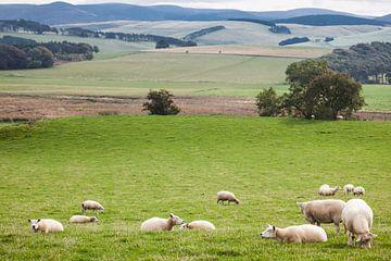 Schapen in het Schotse landschap von Jordi Wallenburg