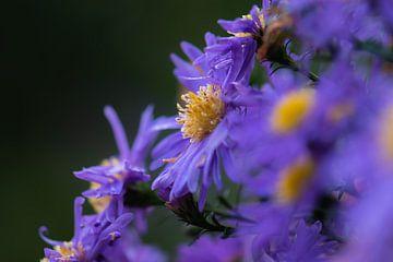 paarse herfstbloemen van