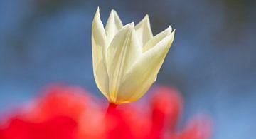Witte tulp van Karin Keesmaat Kijk-Kunst