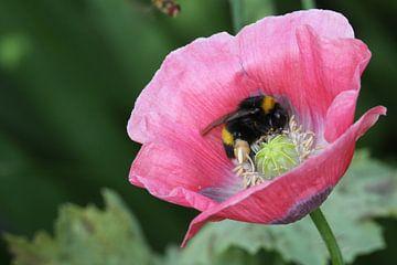 Honingbij op een papaver van