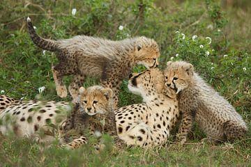 Familie cheeta sur Anja Brouwer
