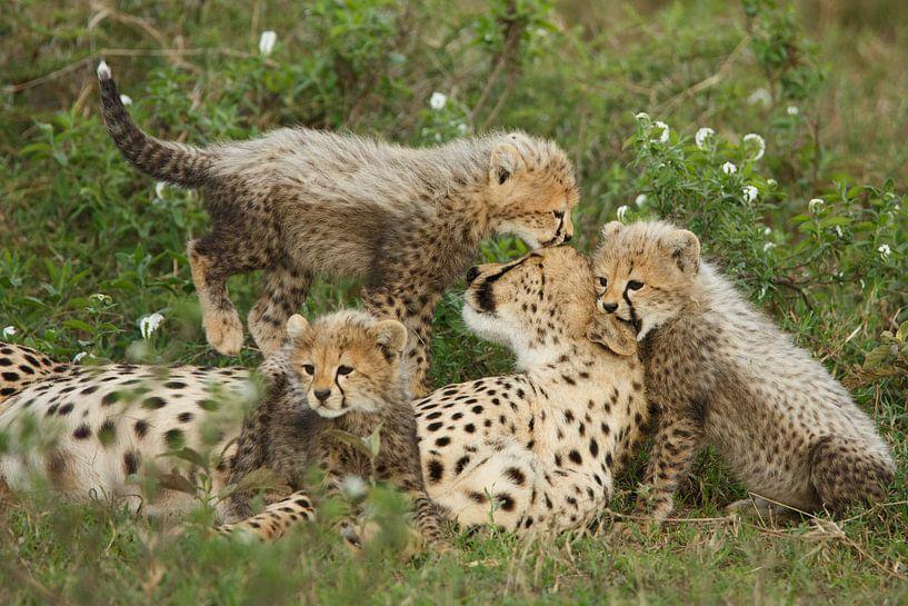 Familie cheeta van Anja Brouwer