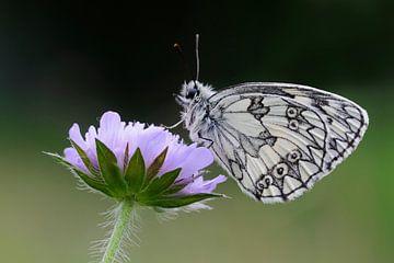 Close up of Marbled White butterfly / Schachbrettfalter ( Melanargia galathea ), resting on Field Sc van wunderbare Erde