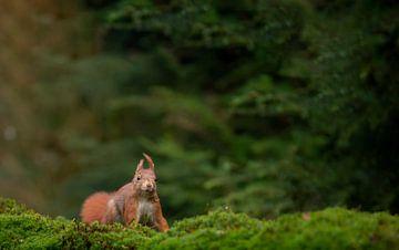 Eekhoorn in het bos, Squirrel in the woods van
