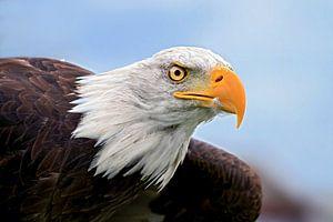 Amerikanischer Seeadler im Flug