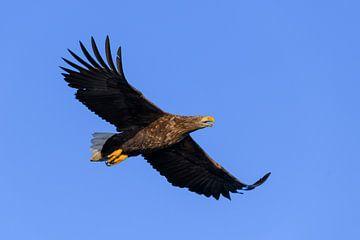 Seeadler- oder Seeadlerjagd im Himmel über Nord- von Sjoerd van der Wal