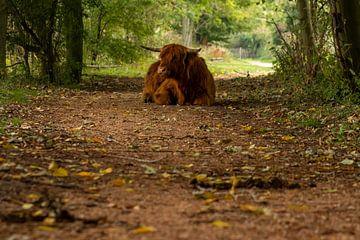 Schotse hooglander op pad van Edwin Muller