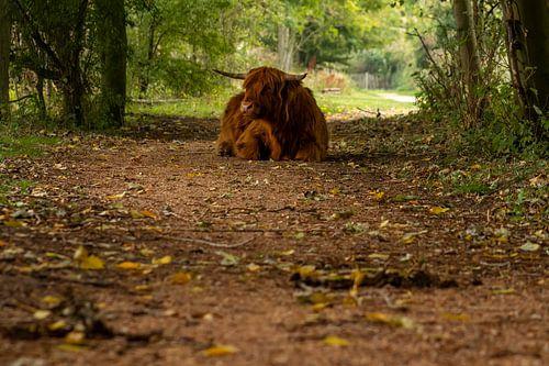 Schotse hooglander op pad