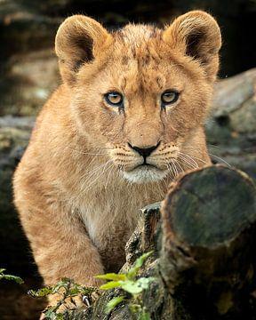 Un lionceau africain vous regarde sur Patrick van Bakkum