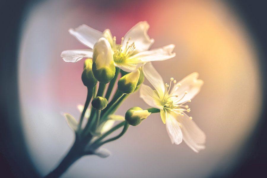 Dionaea's flowers