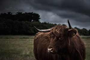 Schotse Hooglander op Texel van