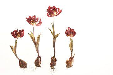 Garten der getrockneten Tulpen von Karel Ham