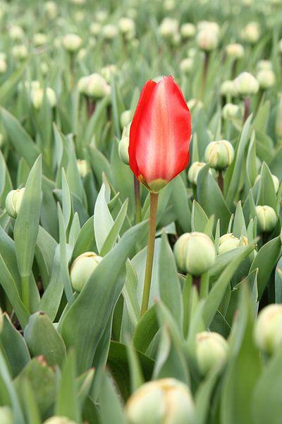 Eerste rode tulp van Carel van der Lippe
