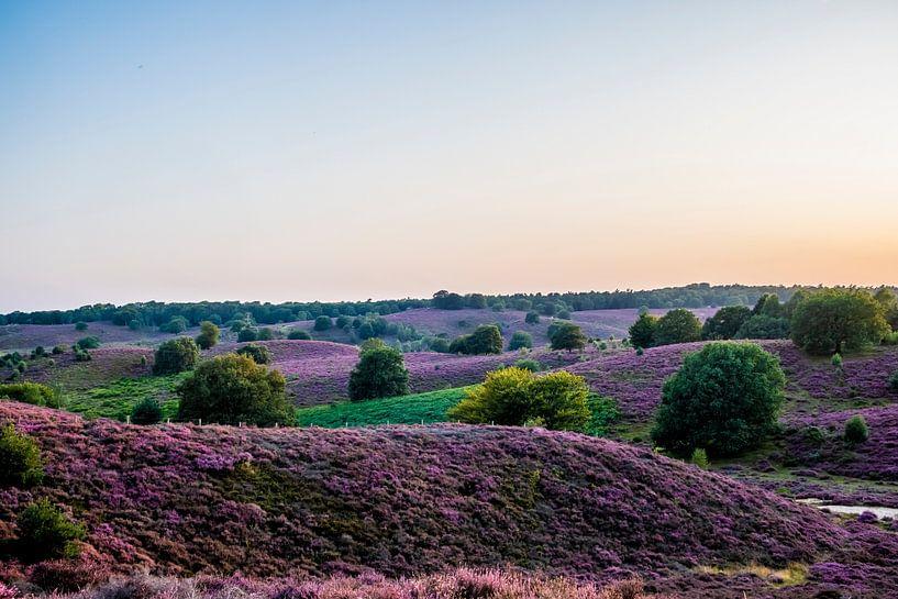 Heide op Veluwezoom in volle bloei van Marcel Krijgsman