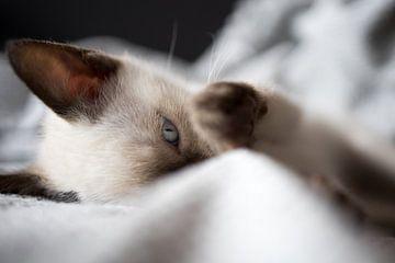 Siamese kat kitten. van N. Rotteveel