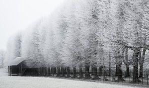 Koning winter, Elswout