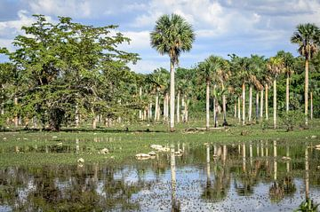 Palmbomen in moerasgebied van Merijn Koster
